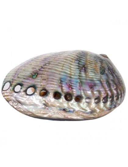 Abalone Polido